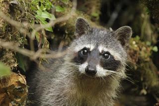 Mamá, de mayor quiero ser un mapache.