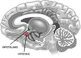 Dibujo del encéfalo y el cerebelo humanos, señalando la ubicación del hipotálamo. Base para explicar las crisis gelásticas epilépticas
